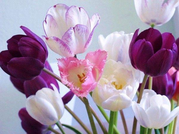 Les tulipes - Page 3 83481524